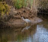 Werribee South, Victoria - Australia 'Werribee River K Road' Photograph by Karen Robinson February 2019 Comments - A morning out with Mark (hubby) and Karen (me) with granddaughter Maddie and daughter Kelly photographing rare sighting of an Eastern Osprey water bird. Photograph featuring White Faced Heron.