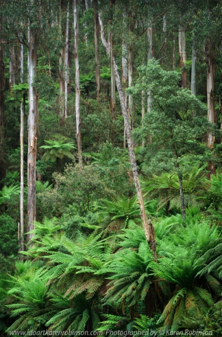 Warburton, Victoria - Australia 'Donna Buang Road Tree Ferns' Photographed by ©Karen Robinson Nov 2020 Comments - Beautiful lush green roadside mountain covered tree ferns.