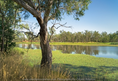 Nagambie, Victoria - Australia 'Tahbilk Wetlands and Tabik Lagoon Summertime' Photographed by Karen Robinson Jan 2021 Comments: Pretty Tabik Lagoon views where plentiful water lilies dressed the lagoon's water edge. Due to kind winter rains, the local vegetation was a healthy green as well. But in some parts of the Lagoon, water levels had lowered so much so that muddy riverbeds were revealed underneath the existing water lilies.