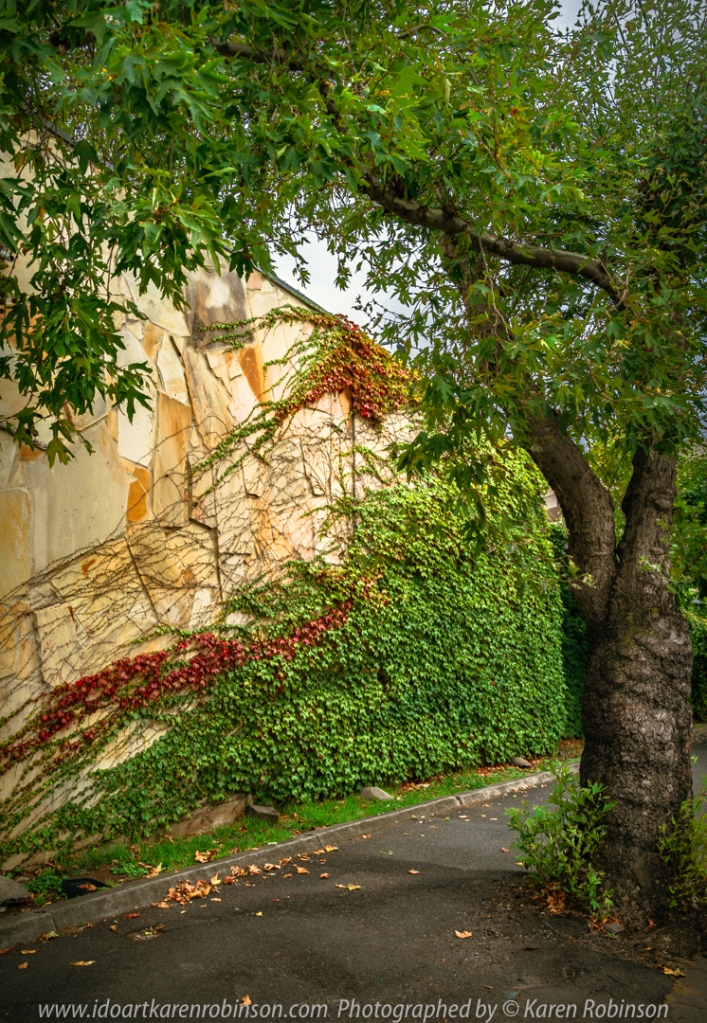 Ascot Vale, Victoria - Australia 'Vine Wall and Tree on Mount Alexander Road' Photographed by Karen Robinson February 2021 Comment: Pretty vines growing across the stone wall and tree on footpath creating a pretty picture.