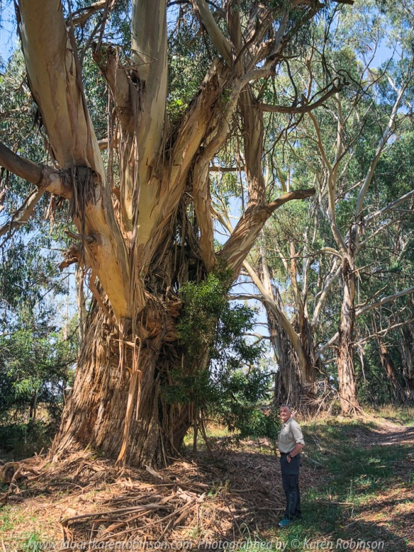 Kerrie, Victoria - Australia 'Huge Gum Trees' Photographed by Karen Robinson March 2021 Comments: Stopped to photograph these huge roadside gum trees on Kerrie Valley Road. Photograph featuring hubby standing beside huge gum tree to help give scale to its size.