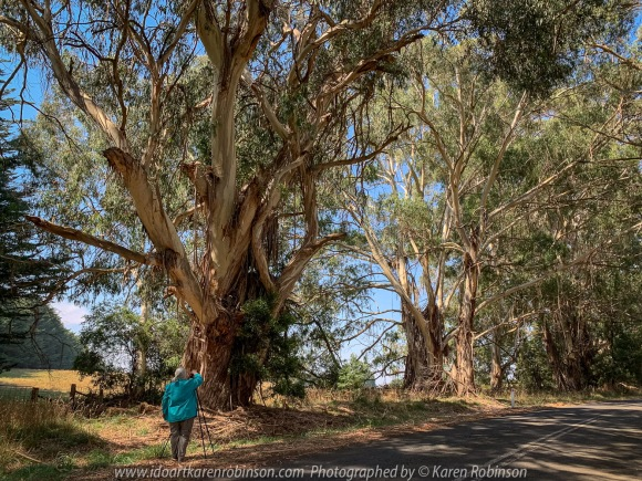 Kerrie, Victoria - Australia 'Huge Gum Trees' Photographed by Karen Robinson March 2021 Comments: Stopped to photograph these huge road-side gum trees on Kerrie Valley Road. Photograph featuring Karen Robinson Photographer.