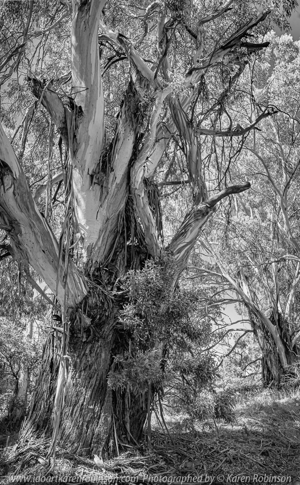 Kerrie, Victoria - Australia 'Huge Gum Trees' Photographed by Karen Robinson March 2021 Comments: Stopped to photograph these huge roadside gum trees on Kerrie Valley Road. Photograph as a Black and White image.