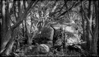 Baynton East, Victoria - Australia 'Views from Tooborac-Boynton Road' Photographed by Karen Robinson April 2021 Comment: Decided to create a black and white image of this Gum Tree Scene.