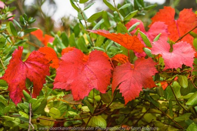 Mount Macedon, Victoria - Australia 'Colourful Autumn Displays on Mount Macedon Road' Photographed by Karen Robinson April 2021 Comments: Different street locations within the region of Mount Macedon capturing beautiful colourful Autumn garden displays.