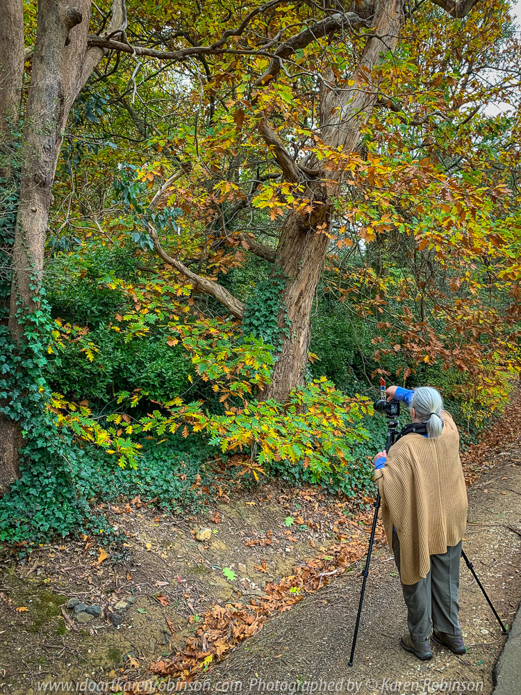 Mount Macedon, Victoria - Australia 'Colourful Autumn Displays on Taylors Road' Photographed by Mark Robinson April 2021 Comments: Different street locations within the region of Mount Macedon capturing beautiful colourful Autumn garden displays. Photograph featuring Karen Robinson Photographer setting up shot of beautiful oak tree scene.
