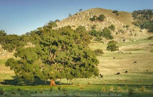 Tooborac, Victoria - Australia 'Tooborac-Baynton Road' Photographed by Karen Robinson April 2021 Comments: Morning drive through farms amongst fields of huge granite boulders. Photograph of cattle while grazing.