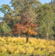 Kerrisdale, Victoria - Australia 'Lone Tree in Grass Field - King Parrot Creek Road' Photographed by Karen Robinson April 2021 Comments: Colourful lone tree in a field of golden grass backdropped by Australia green gum trees and deep blue sky.
