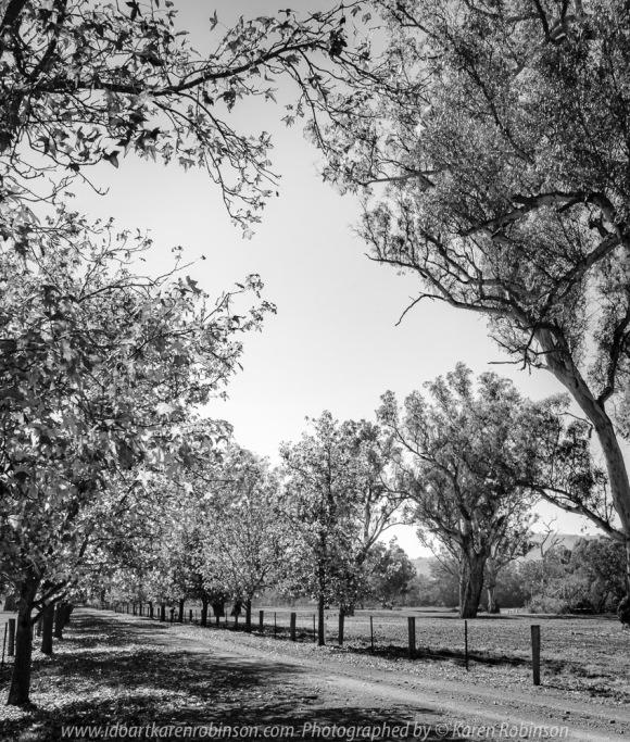 Strath Creek, Victoria - Australia 'Line of Oak Trees along Kerrisdale Estate Drive - King Parrot Creek Road' Photographed by Karen Robinson April 2021 Comments: Glorious Oak Trees lining the estates' road during Autumn on a fine Autumn morning.