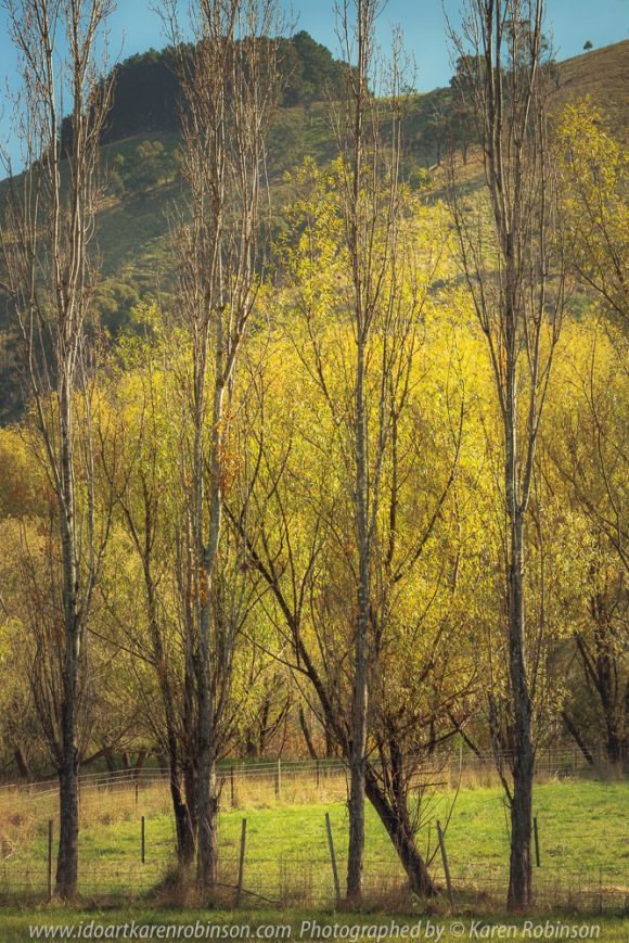 Strath Creek, Victoria - Australia 'Row of Poplar Trees' Photographed by Karen Robinson April 2021 Comments: Beautiful golden yellow leafed Poplar Trees backdropped with mountain range and blue sky.