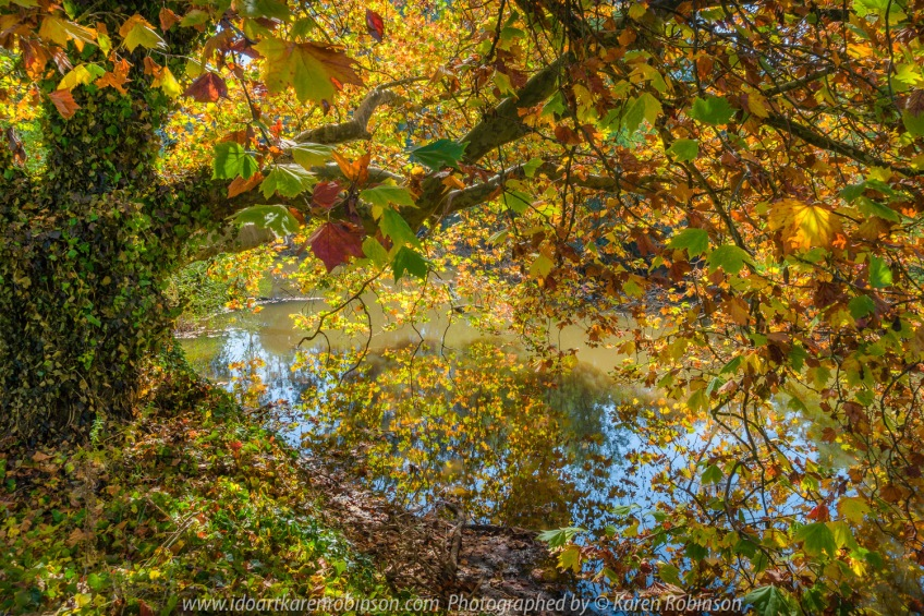 Yea, Victoria - Australia 'Yea River Bridge Oak Tree Autumn Display' Photographed by Karen Robinson April 2021 Comment: Glorious Autumn Oak Display with colourful leaf reflections in the Yea River.